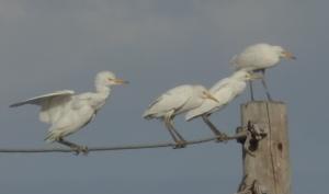 Stork Taking Off